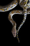 Python on black background Stock Image