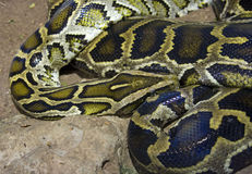 Python boa reticulated scaly reptile terrarium Royalty Free Stock Photos