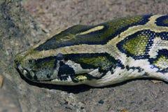 Python boa snake scaly reptiles terrarium. Skin pattern scales vertebrate masonry non-poisonous Stock Image