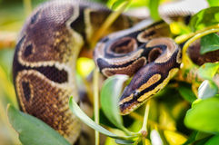 Python on a branch Royalty Free Stock Photography