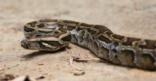 Python. Close up of a burmese python on ground Stock Photos