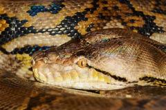 Python. Close Up Portrait Of Python Stock Photography