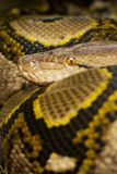 Python coloré Images stock