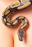 Python crawling over woman's cleavage. Python crawling over young woman's body stock image