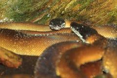 Python d'Albertis image libre de droits