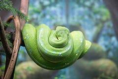 Python d'arbre de Greent Photo stock
