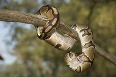 Python de bille Photos libres de droits