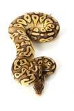 Python de bille de Pastave Images libres de droits