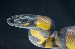 Python de Bismarck Photographie stock libre de droits
