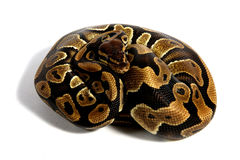 Python de boule Photo stock