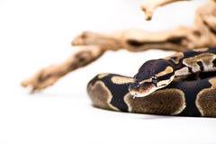 Python de boule photographie stock