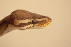 Python de boule Photos stock