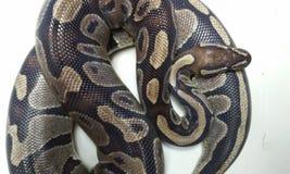 Python 1 de boule Photo libre de droits