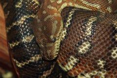 Python de Bredl photographie stock libre de droits