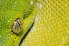Python de Chondro Images stock