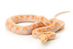 python de lavande albinos réticulé images libres de droits