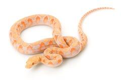 python de lavande albinos réticulé photo libre de droits