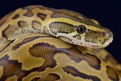 Python de roche africain (sebae de python) Images stock