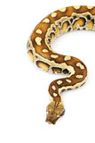 Python de sang photo libre de droits
