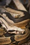 Python de sang sur le ground_vertical Image libre de droits