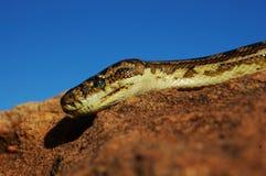 Python de tapis Photo libre de droits