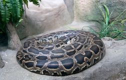 Python de tigre Photos stock