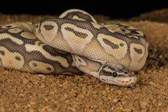 Python en pastel superbe Images stock