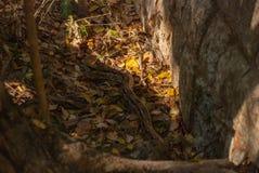 Python enorme que se arrastra en la hierba méxico yucatan fotografía de archivo libre de regalías