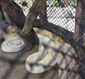 Python gold Stock Photo
