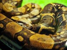 Python grande con su cabeza encrespó para arriba la mentira en un terrario en un fondo verde foto de archivo