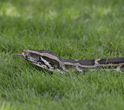 Python In The Grass Stock Image