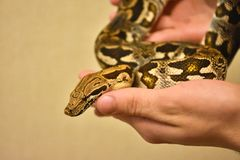 python on hand, snake on hand, man holds python royalty free stock photo
