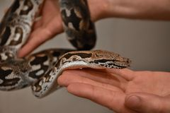 Boa on hand, snake on hand, man holds boa stock images