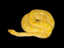 Python jaune Image libre de droits