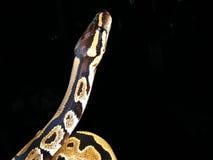 Python juvénile de bille Image libre de droits
