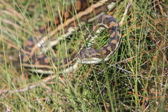 Python in long grass Stock Images