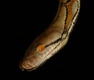 Python met een netvormig patroon Stock Afbeelding
