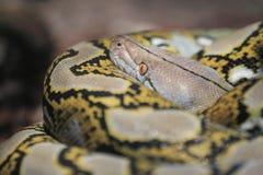 Python met een netvormig patroon Stock Foto's