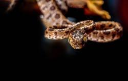 Python met een netvormig patroon, Slang Royalty-vrije Stock Foto's