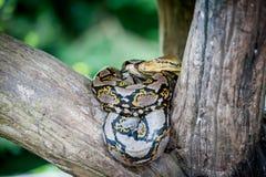 Python molurus bivittatus Stock Photo