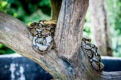 Python molurus bivittatus Stock Photos