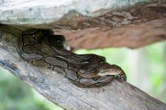 Python molurus bivittatus Royalty Free Stock Photos