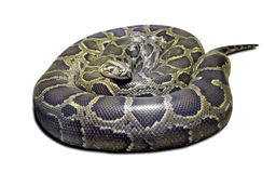 Python molurus on white Royalty Free Stock Images