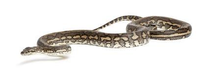 Python, Morelia spilota variegata Stock Images