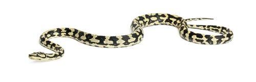 Python, Morelia spilota variegata Royalty Free Stock Photo