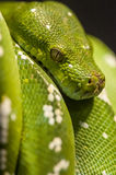 Python - Morelia viridis Stock Photos