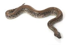 python noir du Bornéo de sang Photographie stock