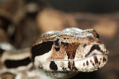 Python, not venomous snake Stock Photo