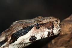 Python, not venomous snake Royalty Free Stock Photo