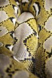 Python one of the largest snakes in the world. Python of the largest snakes in the world stock photo